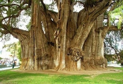 Un géant antique : l'arbre avec le plus grand… | The Blog's Revue by OlivierSC | Scoop.it