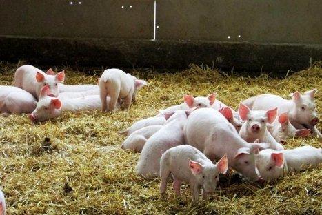 Ces éleveurs de porcs qui se soucient d'écologie et de bien-être animal | NPA - Agriculture-Alimentation | Scoop.it
