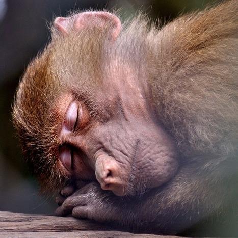 Le sommeil serait l'une des clés de l'évolution humaine | DORMIR…le journal de l'insomnie | Scoop.it
