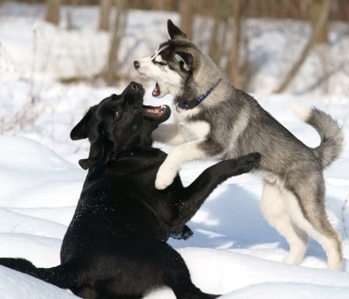 Natural And Other Fighting Dogs | Bpetsmart.com | Dog Training | Scoop.it