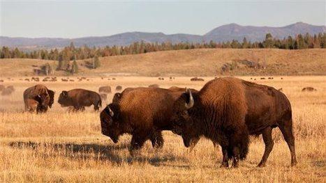 Kelsey découvre les bisons - Radio-Canada | AmeriKat | Scoop.it