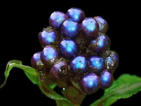 Pollia condensata, la plus belle couleur de la nature | The Blog's Revue by OlivierSC | Scoop.it