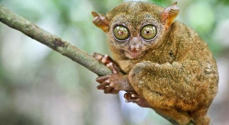 "BusinessWorld | Airport cop held for smuggling rare animals, including 11 tarsiers (""lock him up!"") 