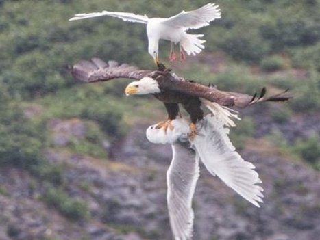 Feathers Fly As Eagle Battles 2 Seagulls | xposing world of Photography & Design | Scoop.it