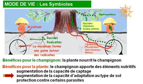 Un champignon symbiotique facilite l'adaptation des arbres à la sécheresse | EntomoNews | Scoop.it