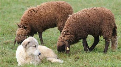 Dans les Vosges, la troisième saison du loup | pastoralisme et prédation | Scoop.it