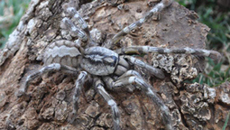 Tarantula As Big As Your Face Discovered In Sri Lanka - Socks On An Octopus | SOAO Science And Tech | Scoop.it