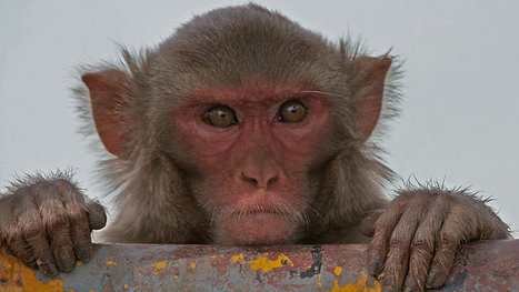 Study confirms monkeys can do math | It Comes Undone-Think About It | Scoop.it