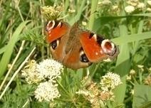 Attracting Butterflies and Moths to your Garden | 100 Acre Wood | Scoop.it