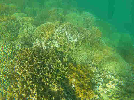 Chemicals In Sunscreen Are Harming Coral Reefs, Says New Study : The Two-Way : NPR | KNOWING............. | Scoop.it