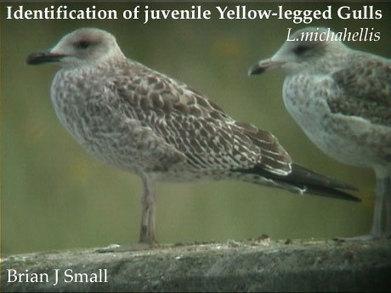 surfbirds.com - I.D. of juv Yellow-legged Gull   Bird ID   Scoop.it