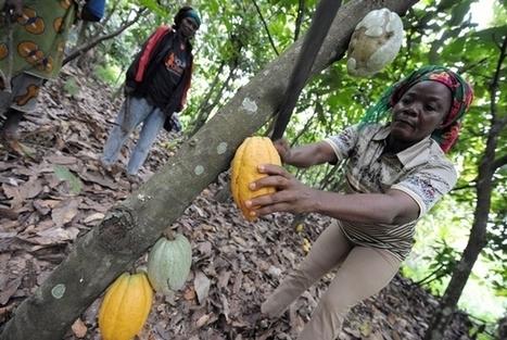Café-cacao / Qualité du verger : Le Conseil apporte des innovations ... - Abidjan.net   FILIERE CAFE CACAO EN COTE D'IVOIRE   Scoop.it