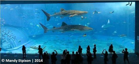 Palau Les raies Manta meurent vite en captivité | Rays' world - Le monde des raies | Scoop.it