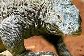 Komodo dragon dies at Indonesian 'death zoo' | Rhino poaching | Scoop.it