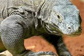 Komodo dragon dies at Indonesian 'death zoo' | Rhino poaching | Scoop.it