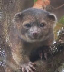 El olinguito, habitante de los bosques de neblina de Colombia y Ecuador | Autosostenibilidad en el mundo | Scoop.it