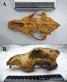 Domestications pré-néolithiques : Un chien domestiqué en Sibérie il y a 33 000 ans | World Neolithic | Scoop.it