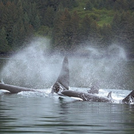Odd-looking orcas may be a distinct species | Amocean OceanScoops | Scoop.it