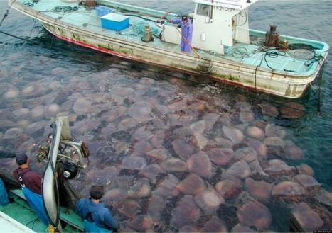 Are Jellyfish Taking Over The World's Oceans? | Amocean OceanScoops | Scoop.it