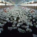 Vers un abandon des élevages industriels | Chuchoteuse d'Alternatives | Scoop.it