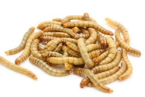 lab report mealworms Mealworm lab report - quality research paper writing help - we help students to get professional paper assignments for an affordable price best essay and there is a link to the biosphere 2 website on the lab page.