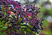 "Elderberry Extract: Nature's ""Tamiflu"" 