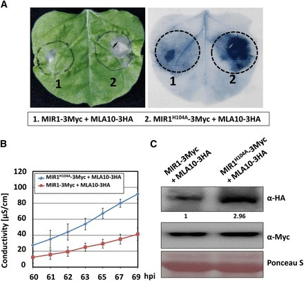 An E3 Ligase Affects the NLR Receptor Stability and Immunity to Powdery Mildew | Cereal and Biotrophic Pathogens | Scoop.it