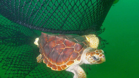 A lawsuit may be the only way to save sea turtles - Mother Nature Network (blog) | Marine Conservation | Scoop.it