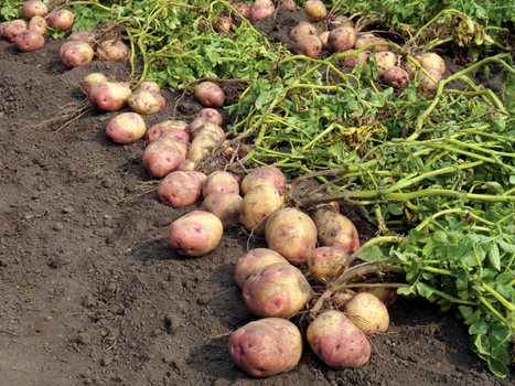 Partnership to advance potato genome research - agprofessional.com | Agricultural Biodiversity | Scoop.it