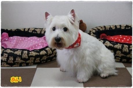 ウエスティ姉妹 あずき&あい 真っ白ふわさら~で準備OK~♪♪   West Highland White Terrier   Scoop.it