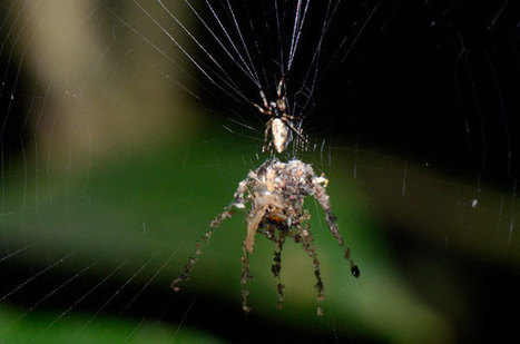 Short Sharp Science: Spider builds giant decoy of itself | Ciencia Mística | Scoop.it