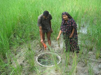 Keeping fish in rice fields could help farmers adapt to a changing climate | CGIAR Climate | The Barley Mow | Scoop.it