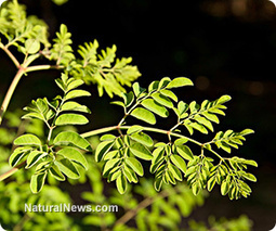 Moringa oleifera is a potent anti-inflammatory, study finds | Moringa Recipes and Cooking | Scoop.it