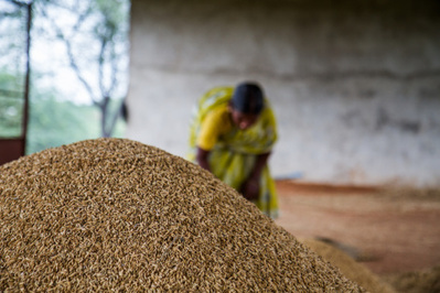 Miracle grow: Indian farmers smash crop yield records without GMOs – Utne Altwire | Farming, Forests, Water & Fishing (No Petroleum Added) | Scoop.it