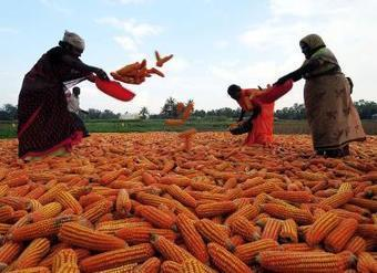 Mission impossible? #India's target to import #GMO-free corn - Times of India | Messenger for mother Earth | Scoop.it