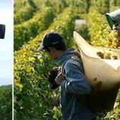 Vendanges 2014: Les prévisions région par région | Autour du vin | Scoop.it