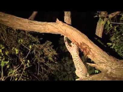Watch How a Leopard Reacts When It Finds Out Its Prey Has a Newborn | The Second Mile | Scoop.it