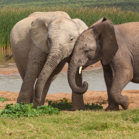 Why it might take more than the buzz of bees to ward off elephants | Pachyderm Magazine | Scoop.it