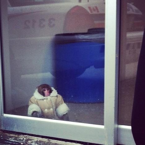 Darwin le singe d'Ikea ne retournera pas auprès de sa maîtresse, a ... - Le Huffington Post | T'as la bannanne couzain ! | Scoop.it