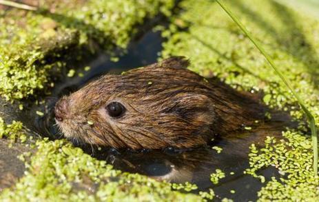 Le rongeur menacé d'extinction de retour sur le plateau de Saclay | Biodiversité | Scoop.it