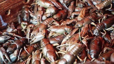 Rutto etenee – Ravut katoamassa myös Vanttauskosken altaasta Kemijoelta | Rapu ja rapurutto, Crayfish and crayfish plague | Scoop.it