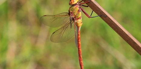 Les libellules, symbole d'unefoisonnante biodiversité dont nousignorons presquetout | EntomoScience | Scoop.it