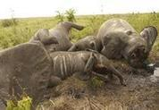 Poachers may be using Libya war weapons to kill elephants | Chris' Regional Geography | Scoop.it