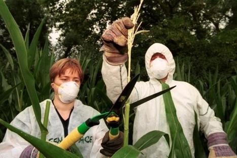 Descubren un aumento de tumores en ratas alimentadas con maíz transgénico | regulación biotecnología | Scoop.it