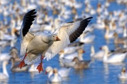 Snow Geese in Full Migration - Réservoir Beaudet, Victoriaville - Steve Troletti Photography | Share Some Love Today | Scoop.it