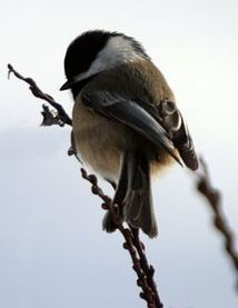 Bird Quiz: Black-capped Chickadee - Audubon Magazine (blog) | Biology@BellaOnline | Scoop.it