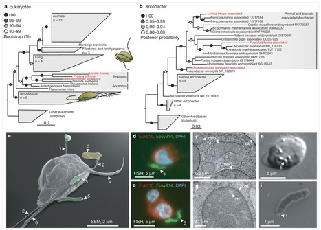 Environmental Breviatea harbour mutualistic Arcobacter epibionts | Protist evolution and biology | Scoop.it
