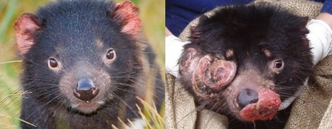 Hope for threatened Tasmanian devils, and for humans!   Devil Facial Tumour Disease   Scoop.it