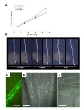PLOS ONE: Effects of the Plant Growth-Promoting Bacterium Burkholderia phytofirmans PsJN throughout the Life Cycle of Arabidopsis thaliana | Plant growth-promoting actions | Scoop.it