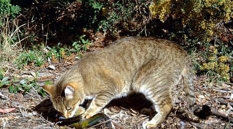 L'Australie souhaite imposer un couvre-feu permanent aux chats | Biodiversité | Scoop.it